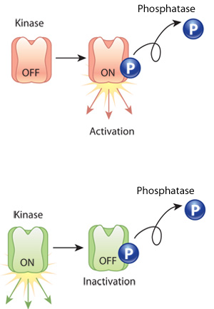 what are enzymes an example of